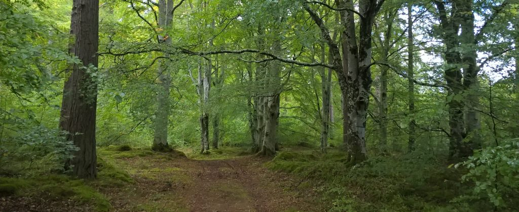 Beech Trees in Spring Leaf: Cawdor Woods, The Highlands, Scotland
